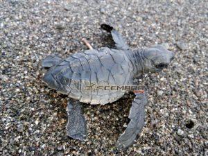 Tukik Penyu Lekang di Pesisir Pantai Goa Cemara Patihan